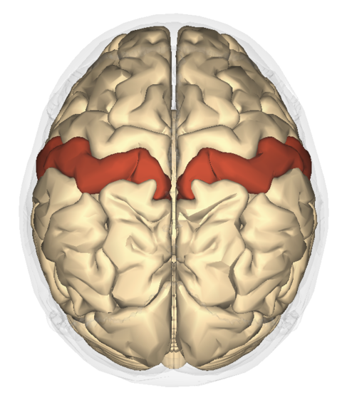 This is a drawing showing a top view of the human brain. The postcentral gyrus is located in the parietal lobe of the human cortex—indicated as a red band near the middle of the brain—and is the primary somatosensory region of the human brain.