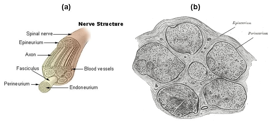Nerves Boundless Anatomy And Physiology
