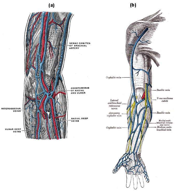upper arm veins