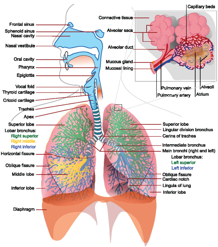 This is a schematic drawing of the entire respiratory tract, include inner details such as the aveoli. It illustrates the respiratory tract as a complex, connected system where resistance in any part of it can cause problems.