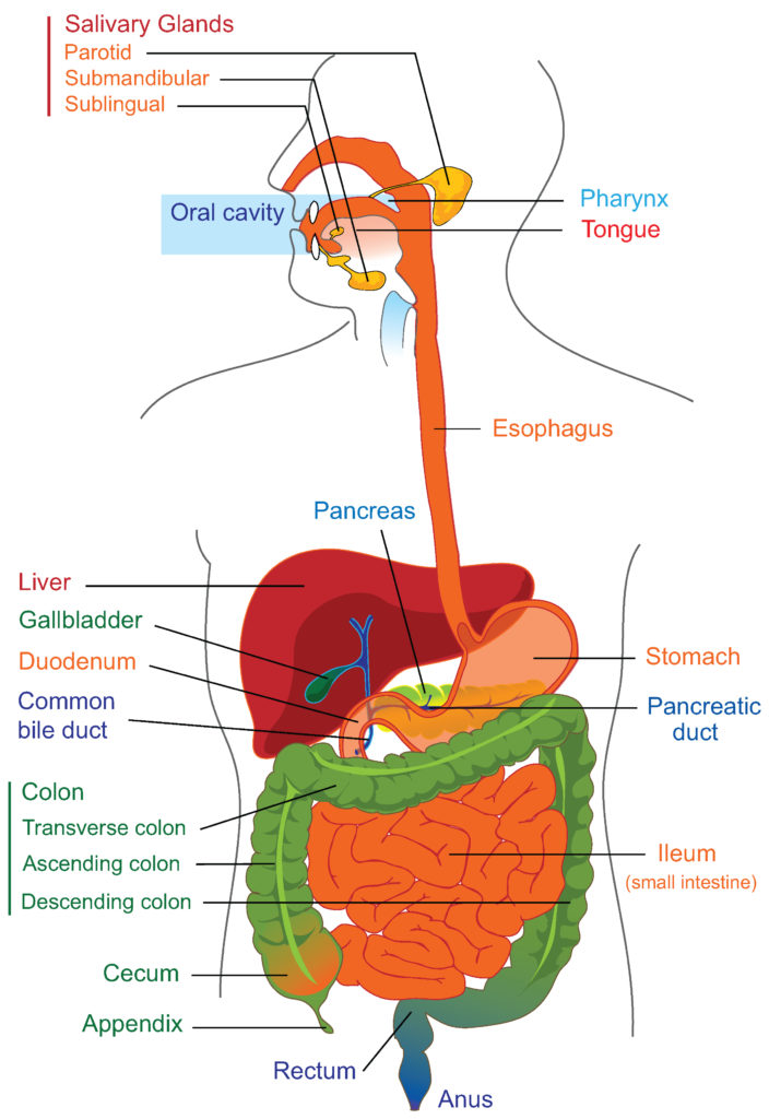 The major organs of the human gastrointestinal system are identified in this drawing. The upper gastrointestinal tract consists of the esophagus, stomach, and duodenum. The lower gastrointestinal tract includes most of the small intestine and all of the large intestine. According to some sources, it also includes the anus.