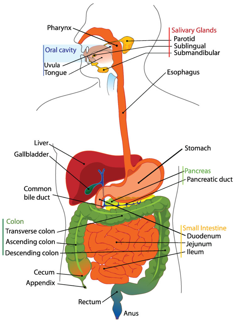 This diagram shows the relationship between the various organs of the digestive system. It shows how the oral cavity connects to the esophagus and descends into the stomach and then the small intestine. It then connects to the large intestine, then the rectum, and, finally, the anus.