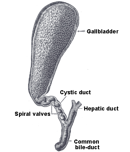 The gallbladder boundless anatomy and physiology this is an anatomical drawing of the gallbladder as depicted in grays anatomy ccuart Image collections