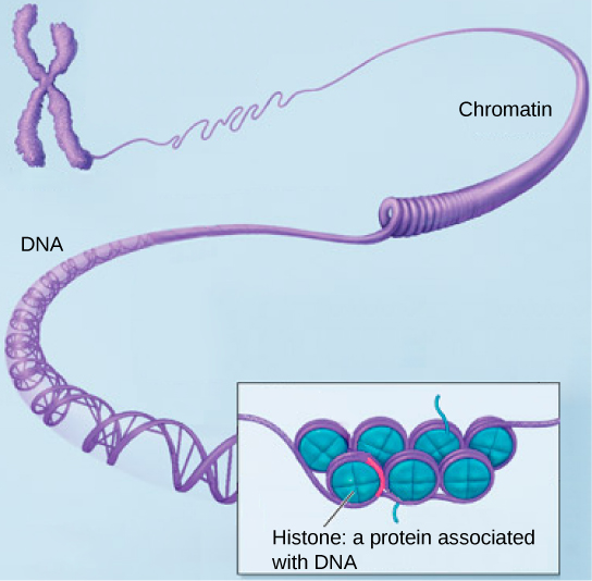 Dna And Chromosomes Coloring Pages