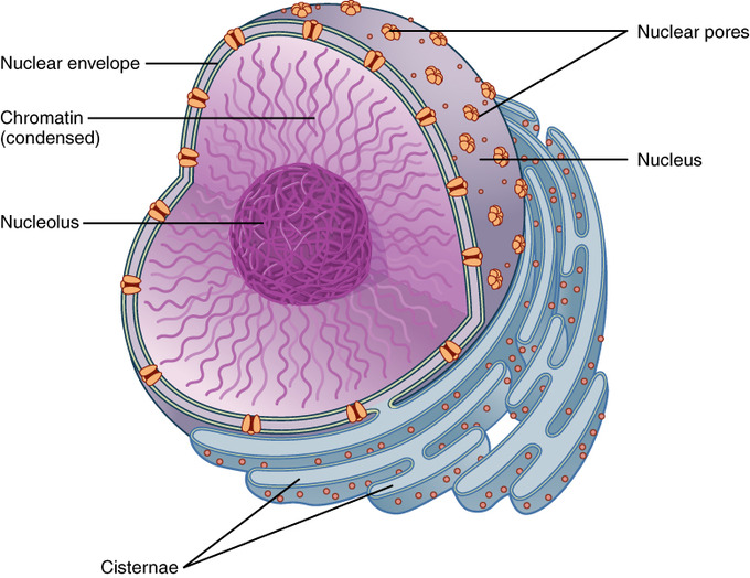 Internal structures of eukaryotic cells boundless microbiology the nucleus stores the hereditary material of the cell the nucleus is the control center of the cell the nucleus of living cells contains the genetic ccuart Gallery