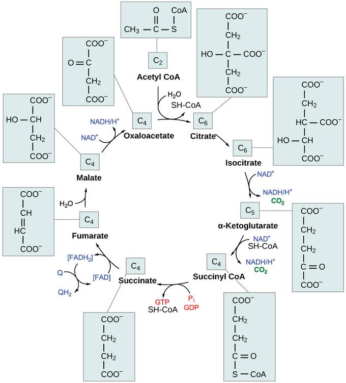 5 6A: Citric Acid Cycle - Biology LibreTexts