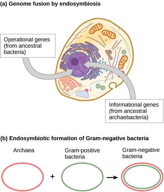 the evolution of eukaryotic cells from Eukaryotic cells also contain other membrane the origin of the eukaryotic cell is a milestone in the evolution of life, since eukaryotes include all complex.