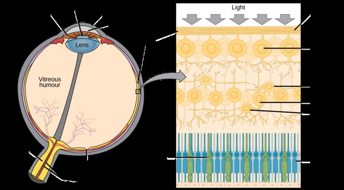 15.3A: Anatomy of the Eye - Biology LibreTexts