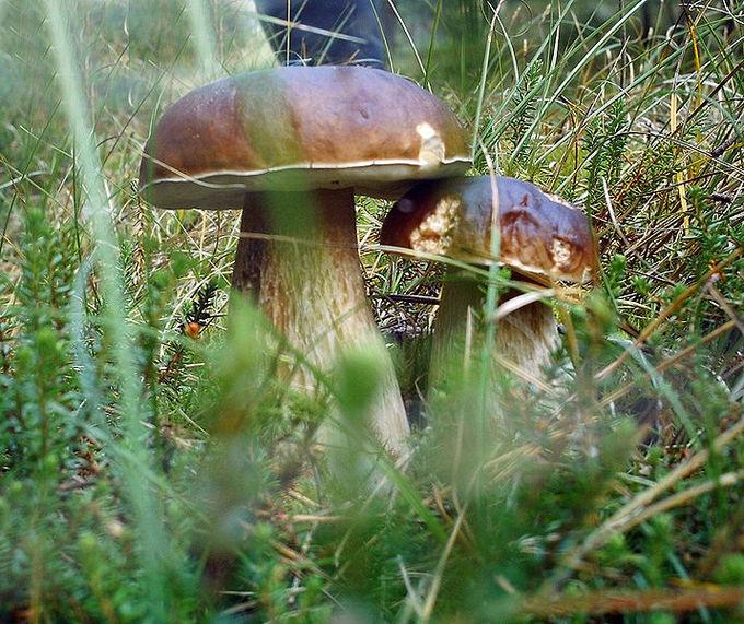 17 4D: Edible Fungi - Biology LibreTexts