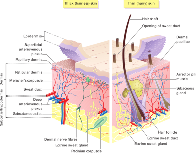 This is an image of the layers beneath thin (hairy) and thick (hairy) skin.