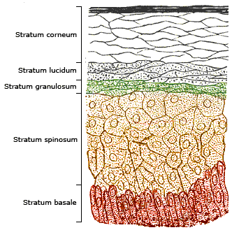 This image details the layers of the epidermis. Starting at the deepest level and rising to the top, it depicts the: stratum basale, stratum spinosum, stratum granulosum, stratum lucidum, and stratum corneum.