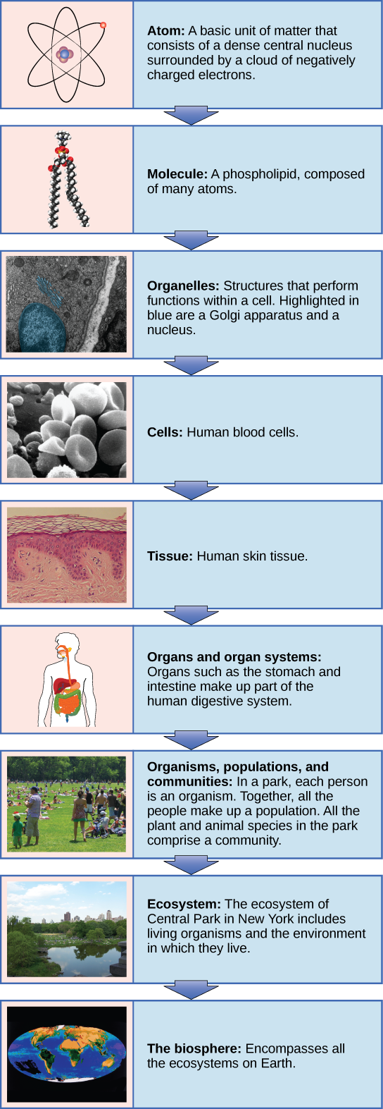 Vertical Chart showing the levels of organization of living things. Starts with an atom, then molecule, cell, organelle, tissue, organ and organ system, then organisms, populations & communities, to ecosystem, and ending with biosphere.