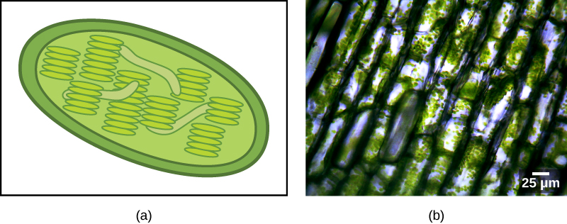 The illustration A shows a green, oval chloroplast with an outer membrane and an inner membrane. Thylakoids are disk-shaped and stack together like poker chips. Image B is a micrograph showing rectangular shapes that have small green spheres within.