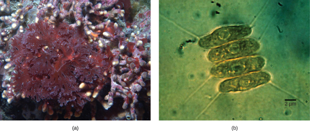 Part a shows red algae with lettuce-like leaves. Part b shows four oval green algae cells stacked next to each other. The cyanobacteria are about 2 µm across and 10 µm long.
