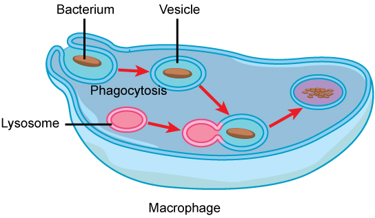Eukaryotic cells biology i in this illustration a eukaryotic cell is shown consuming a bacterium as the bacterium ccuart Images