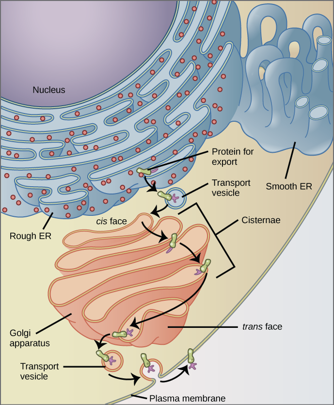 This figure shows the nucleus, rough ER, Golgi apparatus, vesicles, and plasma membrane. The right side of the rough ER is shown with an integral membrane protein embedded in it. The part of the protein facing the inside of the ER has a carbohydrate attached to it. The protein is shown leaving the ER in a vesicle that fuses with the cis face of the Golgi apparatus. The Golgi apparatus consists of several layers of membranes, called cisternae. As the protein passes through the cisternae, it is further modified by the addition of more carbohydrates. Eventually, it leaves the trans face of the Golgi in a vesicle. The vesicle fuses with the cell membrane so that the carbohydrate that was on the inside of the vesicle faces the outside of the membrane. At the same time, the contents of the vesicle are released from the cell.