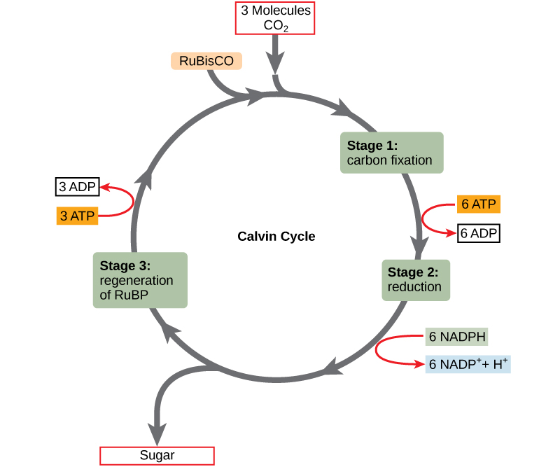 The Calvin Cycle | Biology I