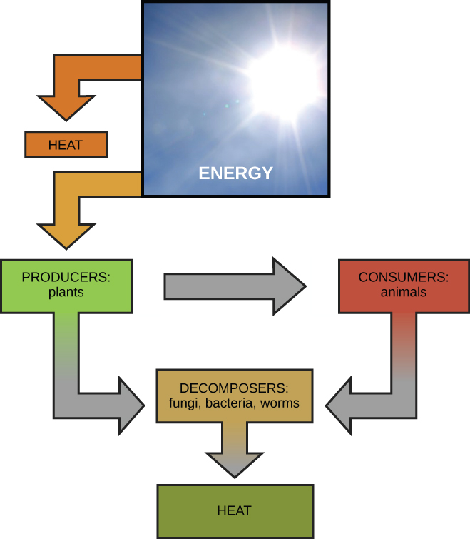 Energy and metabolism biology i this diagram shows energy from the sun being transferred to producers such as plants ccuart Gallery