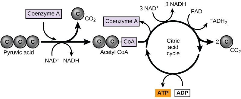 citric acid cycle and oxidative phosphorylation