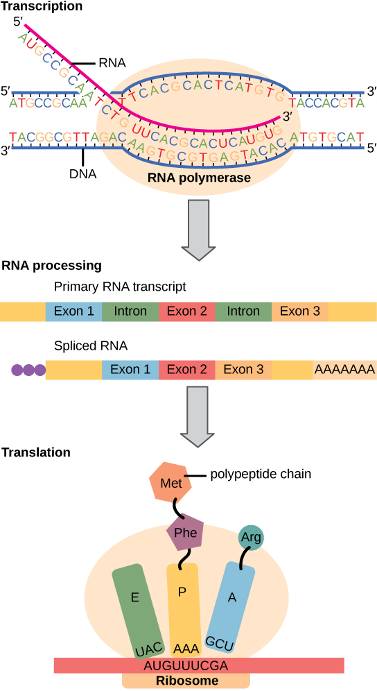 To make a protein, genetic information encoded by the DNA must be transcribed onto an mRNA molecule. The RNA is then processed by splicing to remove exons and by the addition of a 5' cap and a poly-A tail. A ribosome then reads the sequence on the mRNA, and uses this information to string amino acids into a protein.