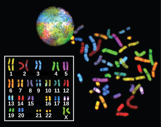 Chromosomes from a human female are shown in a nucleus, scattered outside the nucleus, and arranged in numerical order, from 1–22 followed by X. Each chromosome is stained a different color.