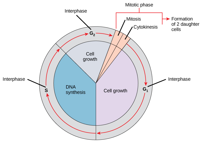 The Cell Cycle Biology I