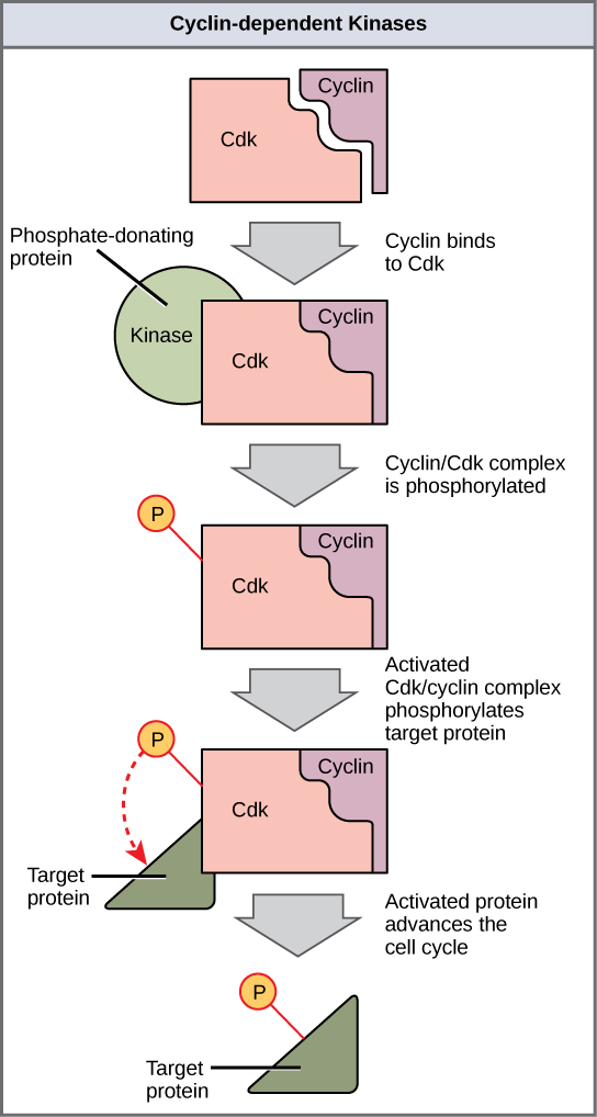 Control of the Cell Cycle – Cell Cycle Regulation Worksheet