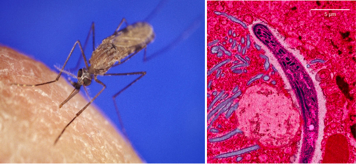 Photo a shows the Anopheles gambiae mosquito, which carries malaria. Photo b shows a micrograph of sickle-shaped Plasmodium falciparum, the parasite that causes malaria. The Plasmodium is about 0.75 microns across.
