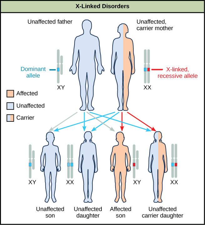 Characteristics and traits biology i a diagram shows an unaffected father with a dominant allele and an unaffected carrier mother with ccuart Image collections