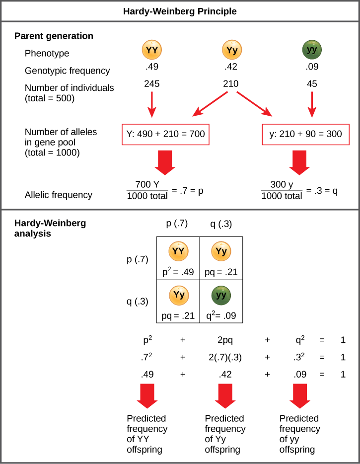 The Hardy-Weinberg principle is used to predict the genotypic distribution of offspring in a given population. In the example given, pea plants have two different alleles for pea color. The dominant capital Y allele results in yellow pea color, and the recessive small y allele results in green pea color. The distribution of individuals in a population of 500 is given. Of the 500 individuals, 245 are homozygous dominant (capital Y capital Y) and produce yellow peas. 210 are heterozygous (capital Y small y) and also produce yellow peas. 45 are homozygous recessive (small y small y) and produce green peas. The frequencies of homozygous dominant, heterozygous, and homozygous recessive individuals are 0.49, 0.42, and 0.09, respectively. Each of the 500 individuals provides two alleles to the gene pool, or 1000 total. The 245 homozygous dominant individuals provide two capital Y alleles to the gene pool, or 490 total. The 210 heterozygous individuals provide 210 capital Y and 210 small y alleles to the gene pool. The 45 homozygous recessive individuals provide two small y alleles to the gene pool, or 90 total. The number of capital Y alleles is 490 from homozygous dominant individuals plus 210 from homozygous recessive individuals, or 700 total. The number of small y alleles is 210 from heterozygous individuals plus 90 from homozygous recessive individuals, or 300 total. The allelic frequency is calculated by dividing the number of each allele by the total number of alleles in the gene pool. For the capital Y allele, the allelic frequency is 700 divided by 1000, or 0.7; this allelic frequency is called p. For the small y allele the allelic frequency is 300 divided by 1000, or 0.3; the allelic frequency is called q. Hardy-Weinberg analysis is used to determine the genotypic frequency in the offspring. The Hardy-Wienberg equation is p-squared plus 2pq plus q-squared equals 1. For the population given, the frequency is 0.7-squared plus 2 times .7 times .3 plus .3-squared equ