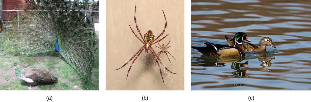 The photo on the left shows a peacock with a bright blue body and flared tail feathers standing next to a brown, drab peahen. The middle photo shows a large female spider sitting on a web next to its male counterpart. The photo on the right shows a brightly colored male wood duck swimming next to a drab brown female.