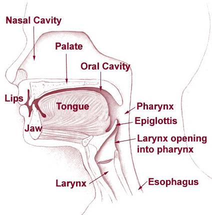 A diagram of a human head that shows the lips, jaw, tongue, nasal cavity, palate, oral cavity, pharynx, epiglottis, larynx opening into the pharynx, larynx, and esophagus.