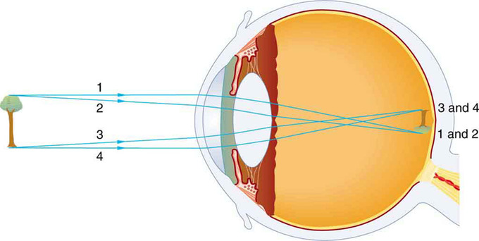 The human eye boundless physics vision diagram an image is formed on the retina with light rays converging most at the cornea and upon entering and exiting the lens ccuart Choice Image