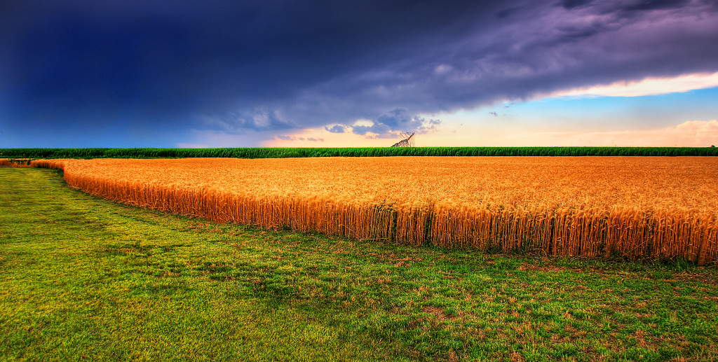 Photo of Kansas summer wheat and storm panorama: dark purplish sky, brilliant golden wheat field.