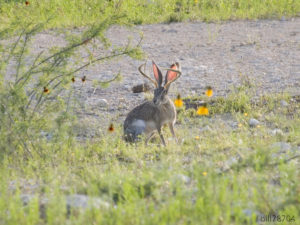 """A """"jackalope"""" which is a fictional large jackrabbit with antlers"""