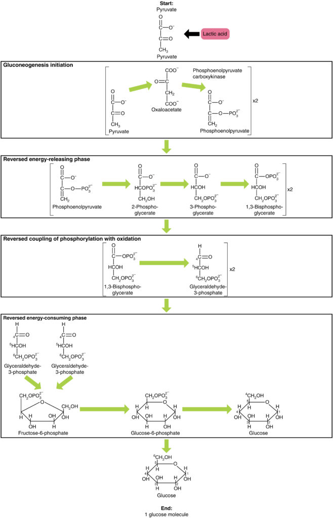 This figure shows the different steps in gluconeogenesis, where pyruvate is converted to glucose.