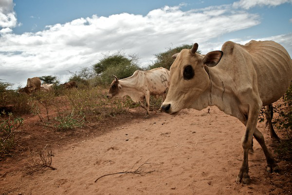 Skinny, sickly cows walking through dry dirt are shown here.