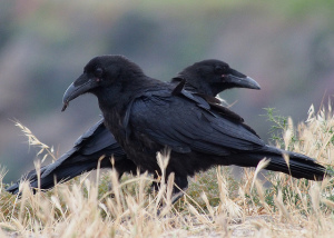 Photo of two ravens on the ground. Each is facing the opposite direction, off camera
