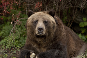 Photo of a grizzly bear staring at the camera against a backdrop of red and green leaves