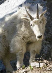 Photo of large white mountain goat, head cocked, looking at camera