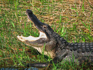 Image of alligator's head in profile, with mouth wide open