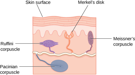 """An illustration shows """"skin surface"""" underneath which different receptors are identified: the """"pacinian corpuscle,"""" """"ruffini corpuscle,"""" """"merkel's disk,"""" and """"meissner's corpuscle."""""""