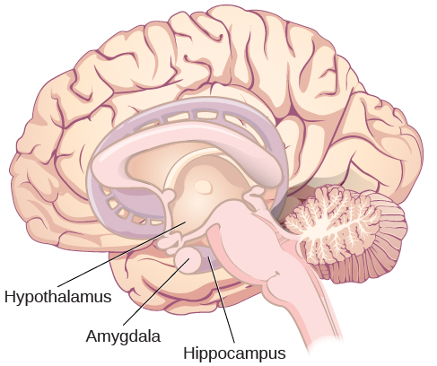 """An illustration of the brain labels the locations of the """"hypothalamus,"""" """"amygdala,"""" and """"hippocampus."""""""