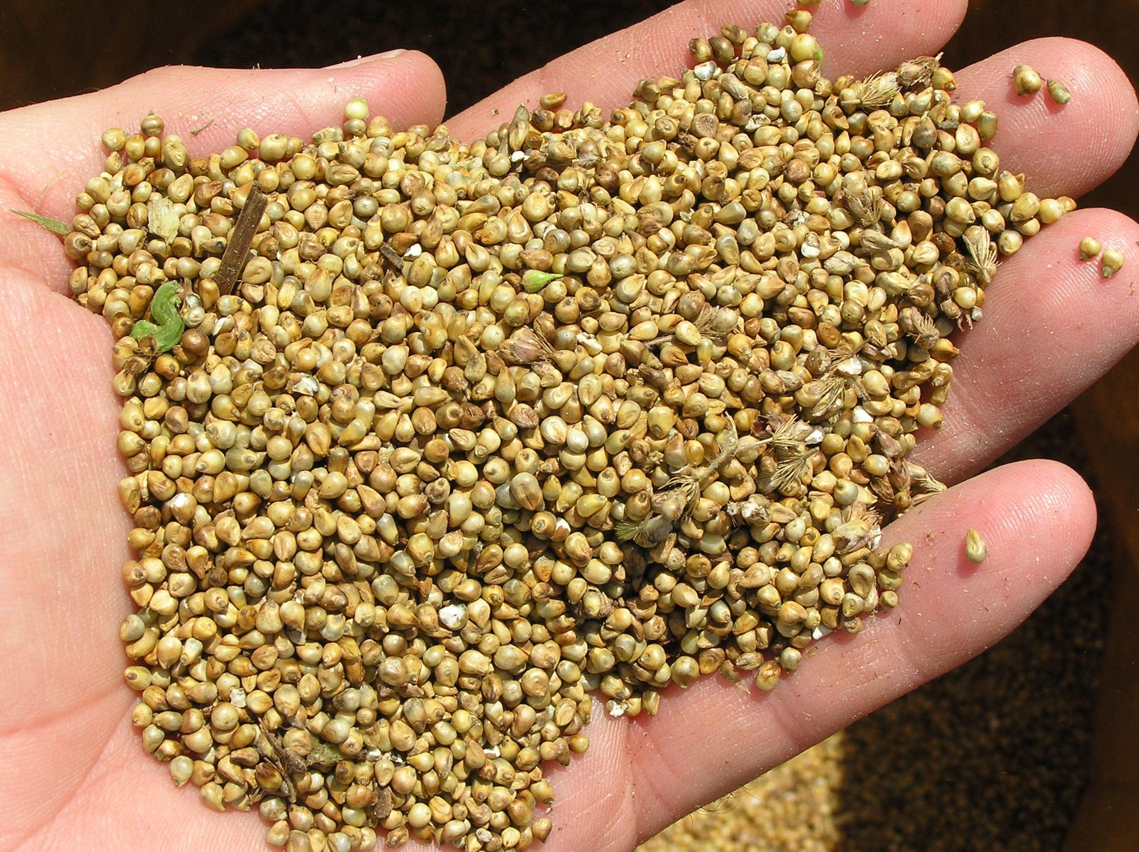 Pearl_millet_after_combine_harvesting.jpg
