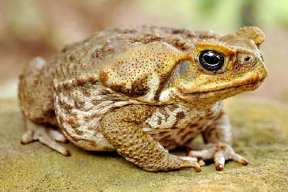 Image of a tan patterned can toad from the side.