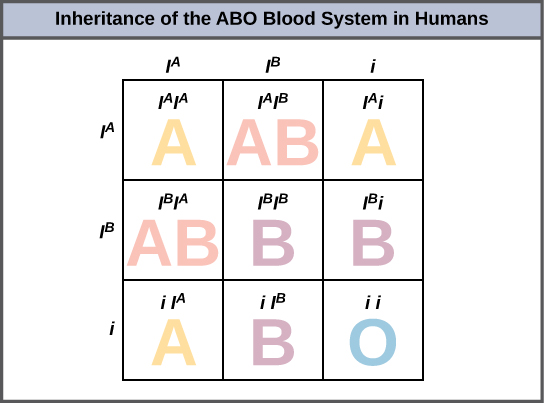 A punnett square showing the inheritance of the ABO blood types, with alleles I^A, I^B, i along each side.