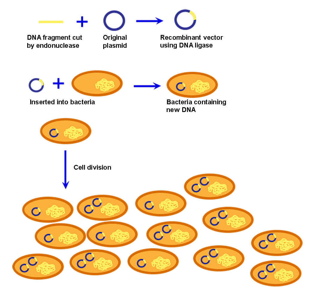 Figure illustrates the steps in cellular cloning. First a DNA fragment, which has been cut by endonuclease is combined with a plasmid to create a recombinant vector, using DNA ligase. The recombinant vector is inserted into a bacteria. The bacteria then asexually reproduces through cell division. When the bacteria reproduces, it also clones the recombinant vector, alongside its own DNA.