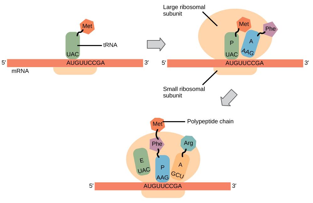 Steps Of Translation Biology For Non Majors I