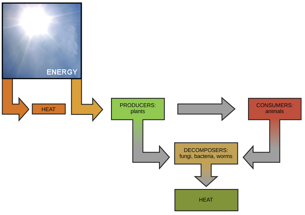 This diagram shows energy from the sun being transferred to producers, such as plants. The producers in turn transfer energy to consumers and decomposers. Animals also transfer energy to decomposers.