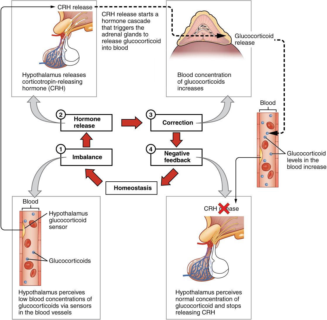 Blood Pressure Feedback Loop Diagram - Electrical Drawing Wiring ...